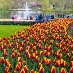 Netherlands' Flowerage Is Simply Unimaginable - Boasts Of More Beautiful Flowers Globally